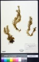 Image of Huperzia linifolia