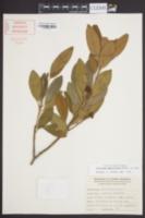 Illicium parviflorum image