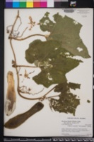 Benincasa hispida image