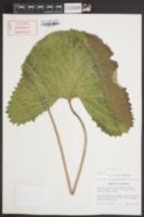 Image of Ligularia wilsoniana
