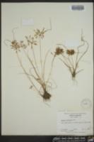 Cyperus filicinus image