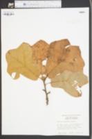Image of Quercus maxima