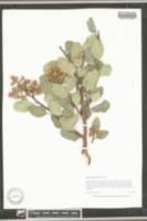 Rhus integrifolia image