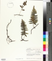 Image of Polypodium myriolepis