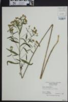 Brickellia eupatorioides var. eupatorioides image