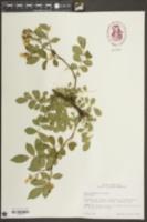 Rosa multiflora image