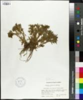 Image of Artemisia capillaris