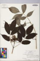 Image of Sambucus racemosa ssp. pubens