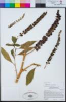 Phytolacca icosandra image