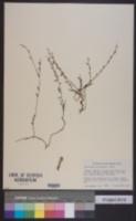 Evolvulus grisebachii image