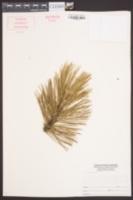 Image of Pinus leucodermis