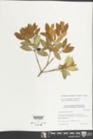 Osmanthus heterophyllus image