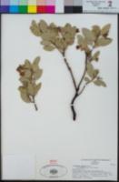 Arctostaphylos glandulosa subsp. leucophylla image