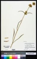 Image of Swertia albicaulis