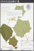 Image of Alangium chinense