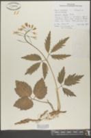 Dentaria diphylla image