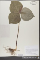 Trillium cuneatum image