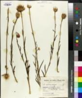 Centaurea tweediei image