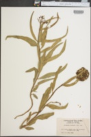Image of Asclepiodora decumbens