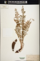 Dryopteris fragrans image