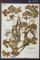 Marsilea polycarpa image