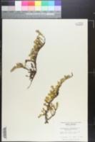 Pyxidanthera barbulata var. barbulata image