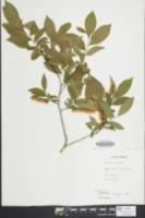 Leucothoe racemosa image