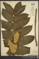Image of Polyscias fulva