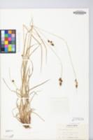 Carex bushii image