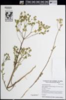 Image of Euphorbia terracina