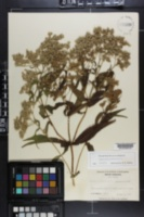 Eupatorium perfoliatum image
