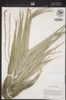 Phoenix canariensis image