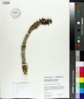 Image of Euphorbia opuntioides