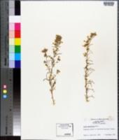 Ipomopsis multiflora image