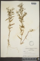 Image of Trichostema lineare