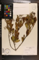 Erithalis fruticosa image