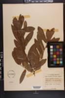 Quercus x caduca image
