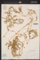 Atriplex semibaccata image