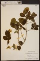 Lonicera flava image