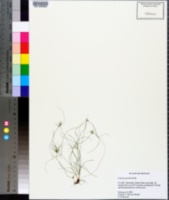 Image of Cyperus gracilis