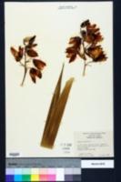 Yucca aloifolia image