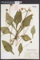 Helianthus atrorubens image