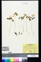 Thalictrum thalictroides image