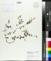 Image of Kalanchoe uniflora