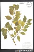 Ligustrum lucidum image