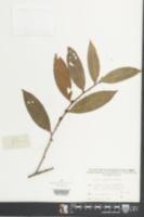 Image of Eurya macartneyi