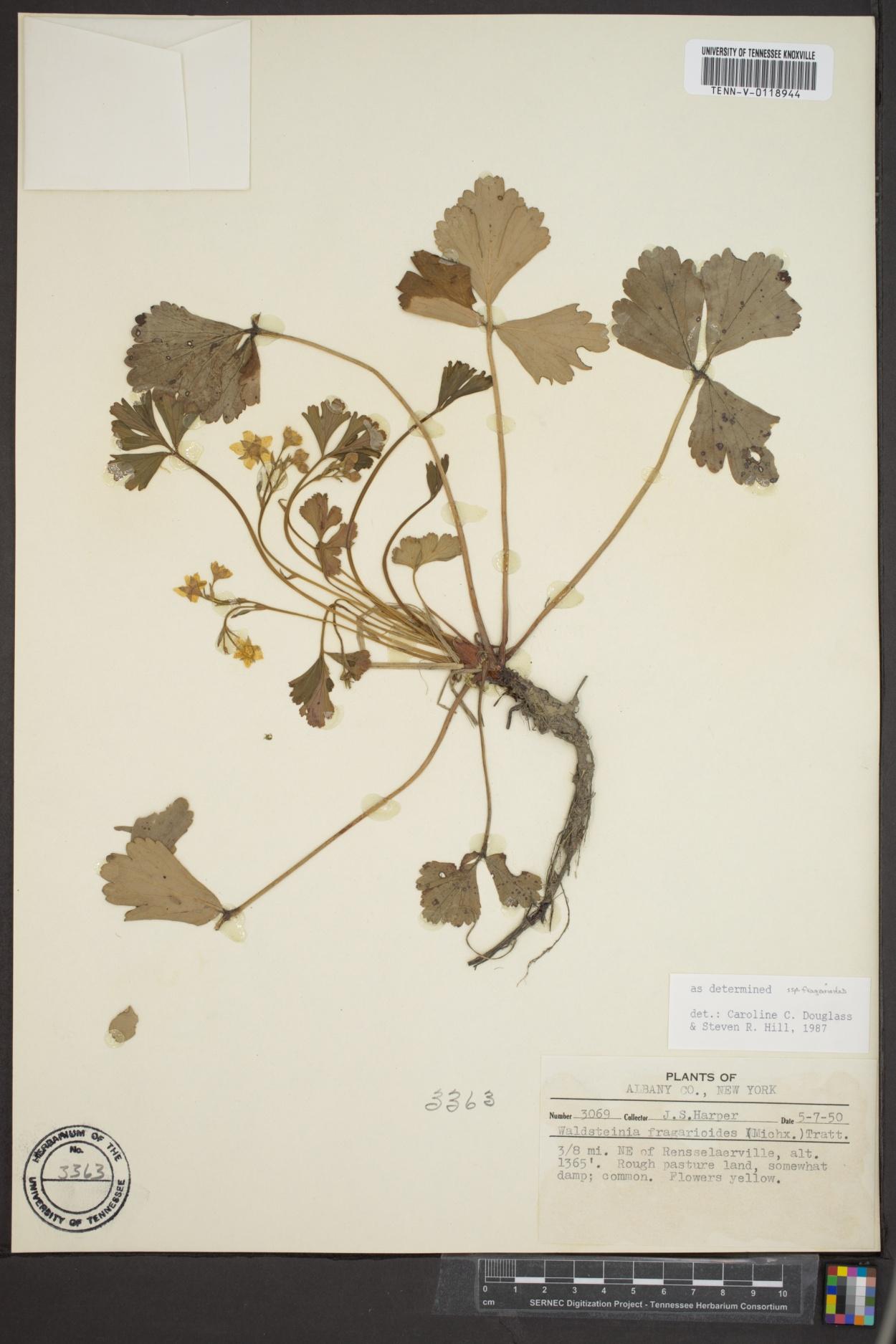 Waldsteinia image