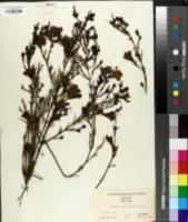Image of Gerardia heterophylla