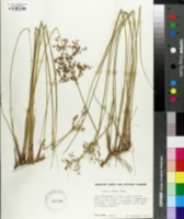 Image of Juncus textilis