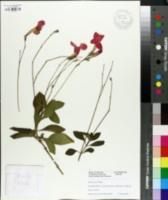 Image of Ruellia elegans